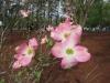 2-pink-dogwood