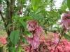 3-flowering-peach