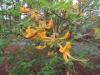 8-yellow-jasmine