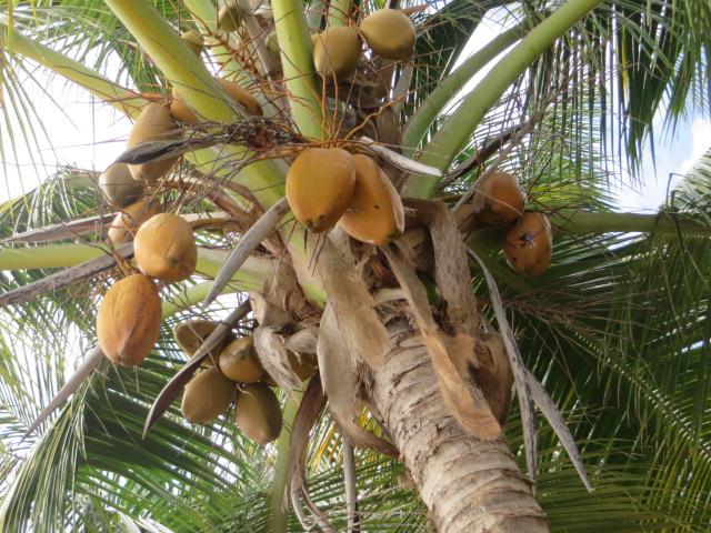 beach-bewarre-coconuts
