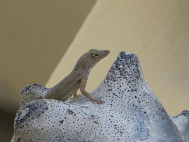 lizardon-conch