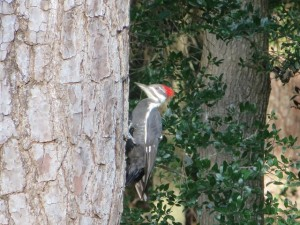 When I saw this woodpecker do his thing I could only laugh at myself. With a clear mind my next shot was pure, right down the middle, long and true! Why do we beat our heads against the wall. Just let it happen!