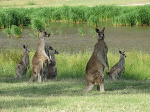 My first gallery of kangaroos early on the Bungool Course!
