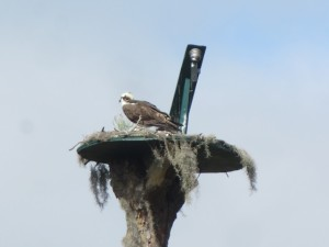 Even Debra's osprey family comes back each year to the Mission Inn Resort!