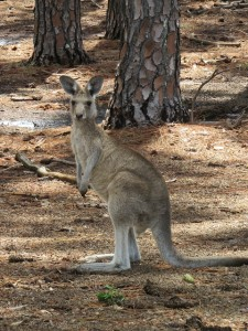 There are kangaroos amongst the pine trees and one day I hope to be one of them!