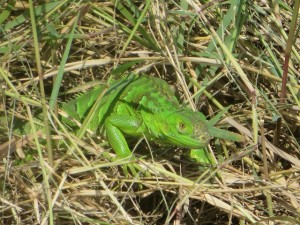 A baby iguana amidst the nature at Pristine Bay Resort. There are birds galore too!