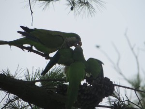 Parrots galore in this part of the world, doing what I do not know!